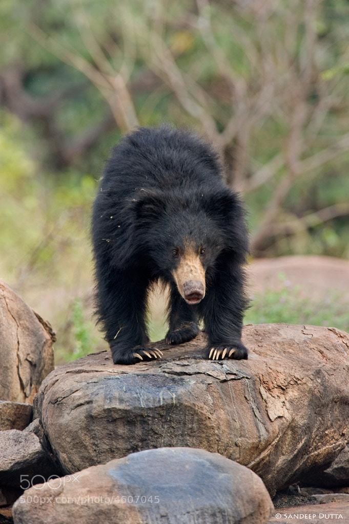 Photograph Sloth Bear by Sandeep Dutta on 500px