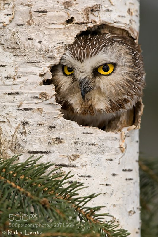 Photograph Northern Saw Whet Owl by Mike  Lentz on 500px