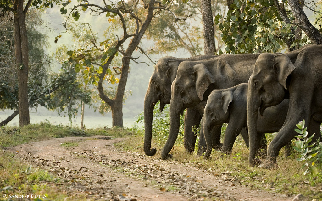 Photograph Elephants by Sandeep Dutta on 500px