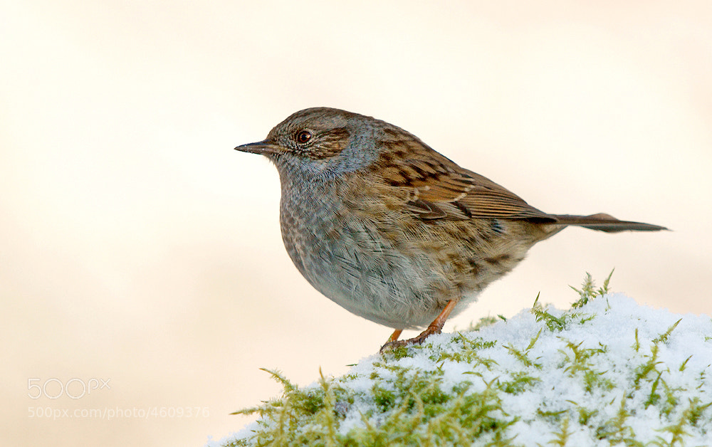 Photograph Dunnock in Snow by Geoffrey Baker on 500px