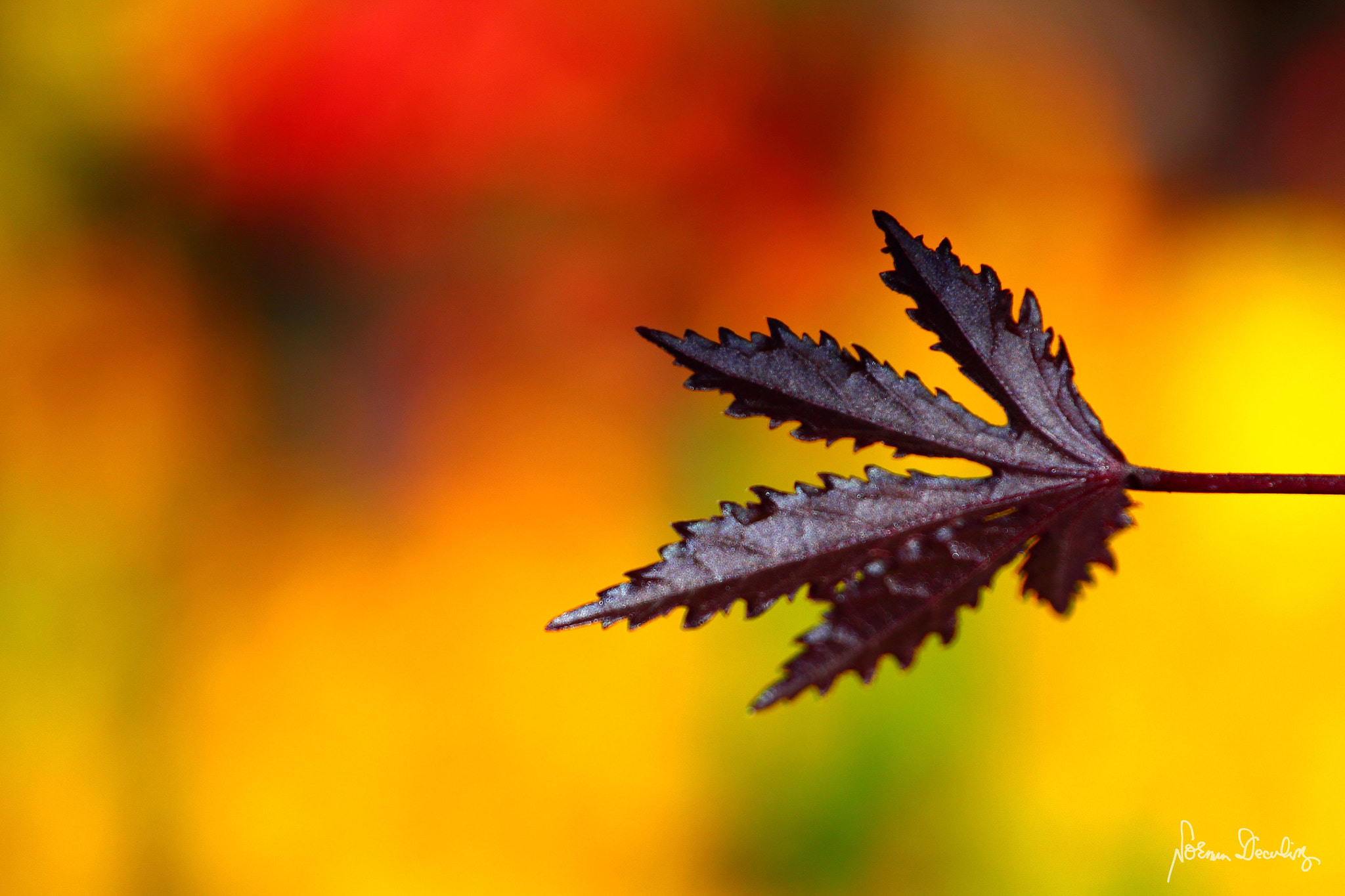 Photograph Maple by Norman Deculing on 500px