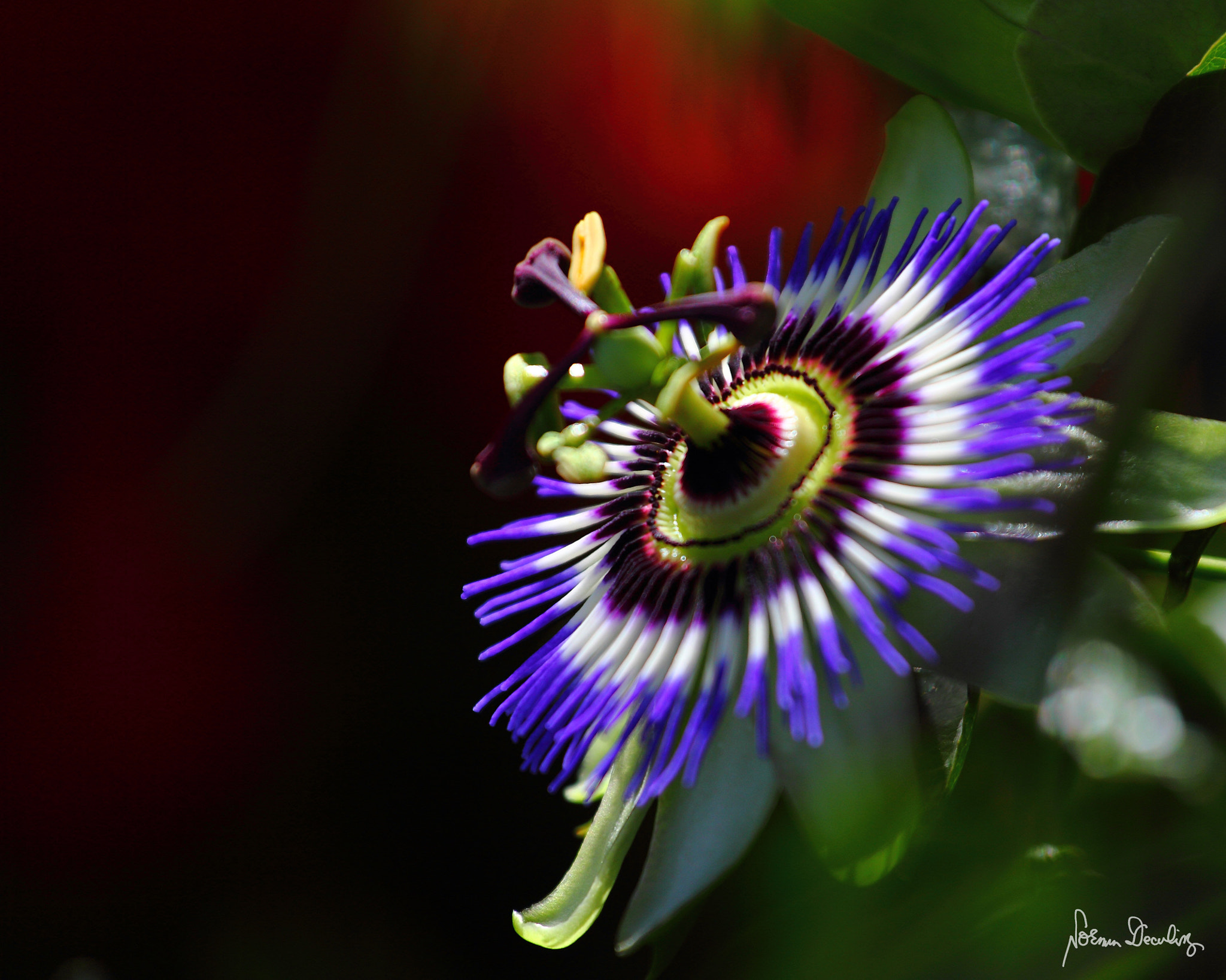 Photograph Passion Fruit Blossom by Norman Deculing on 500px