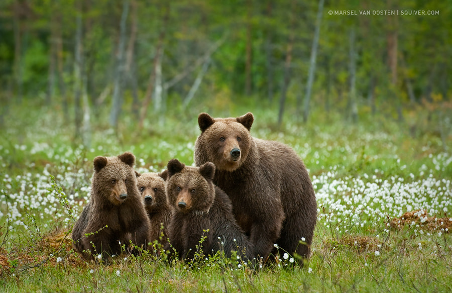 Photograph The Bear Family by Marsel van Oosten on 500px