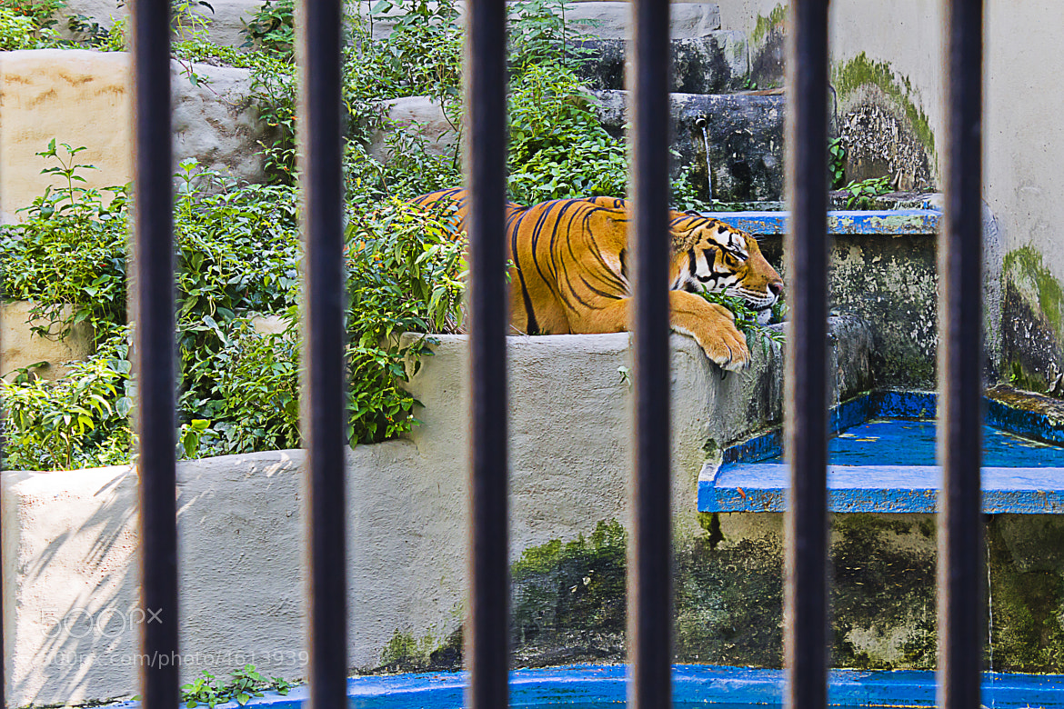 Photograph Tiger by Pekin Vn on 500px