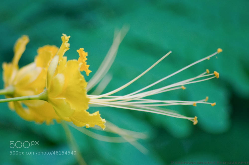 Photograph Peacock Flower yellow by Sadhana Sharma on 500px