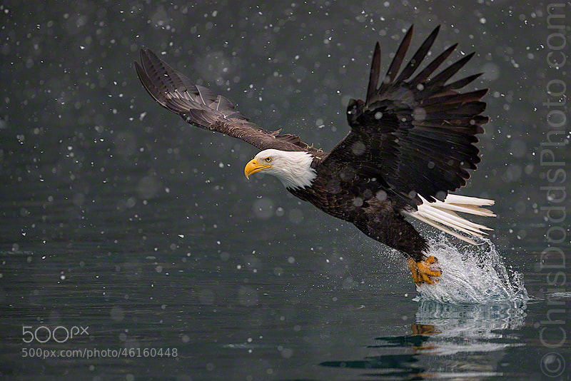 Photograph FISHING DREAMS Bald Eagle by Christopher Dodds on 500px
