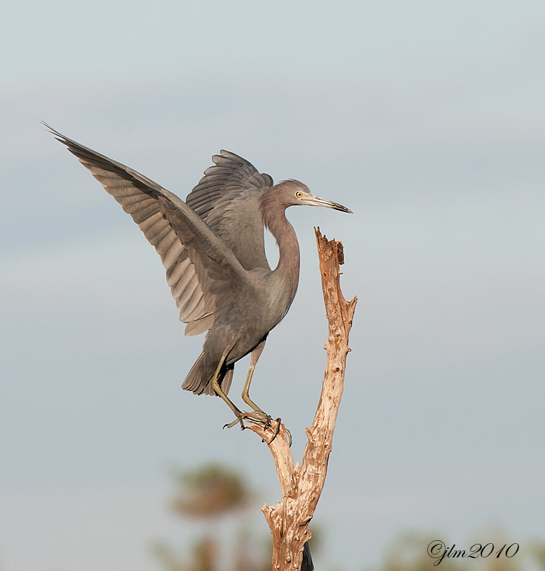 This is an image of a blue heron that had just landed on a near by snag.,  Although they are not colorfulthey have a very elegant beauty all of their own.