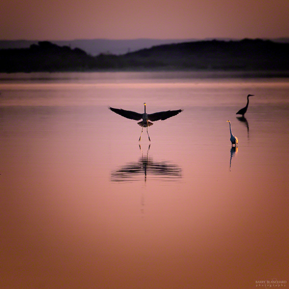 Photograph Heron Landing © Barry Blanchard by Barry Blanchard on 500px