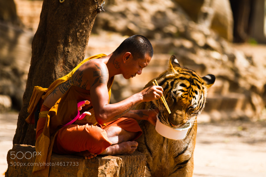 Photograph Monk  and Tiger sharing their meal. by Wojtek Kalka on 500px