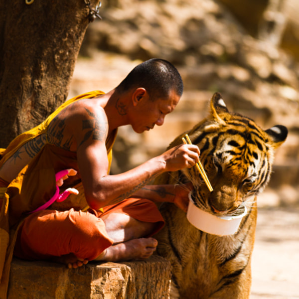Monk  and Tiger sharing their meal.