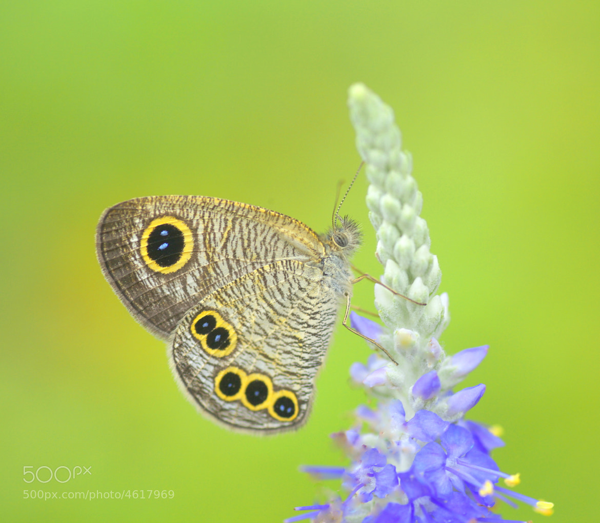 Photograph butterfly by Tashi_Delek Nakata on 500px
