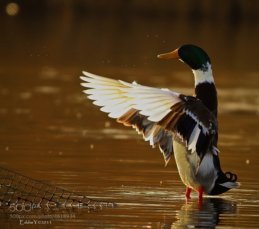 Photograph Mr. Duck Conductor by Eddie Yu on 500px