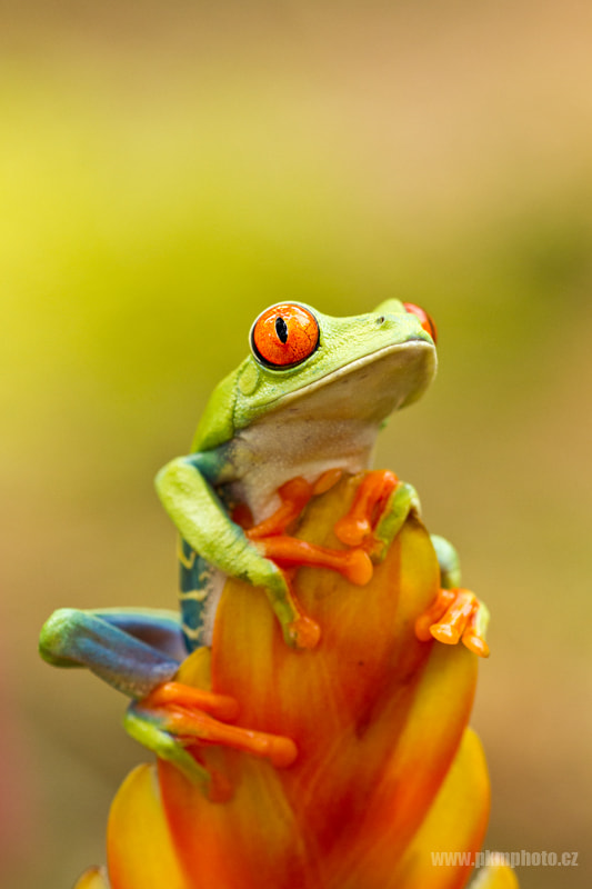 Photograph Red eye tree frog by Peter Krejzl on 500px