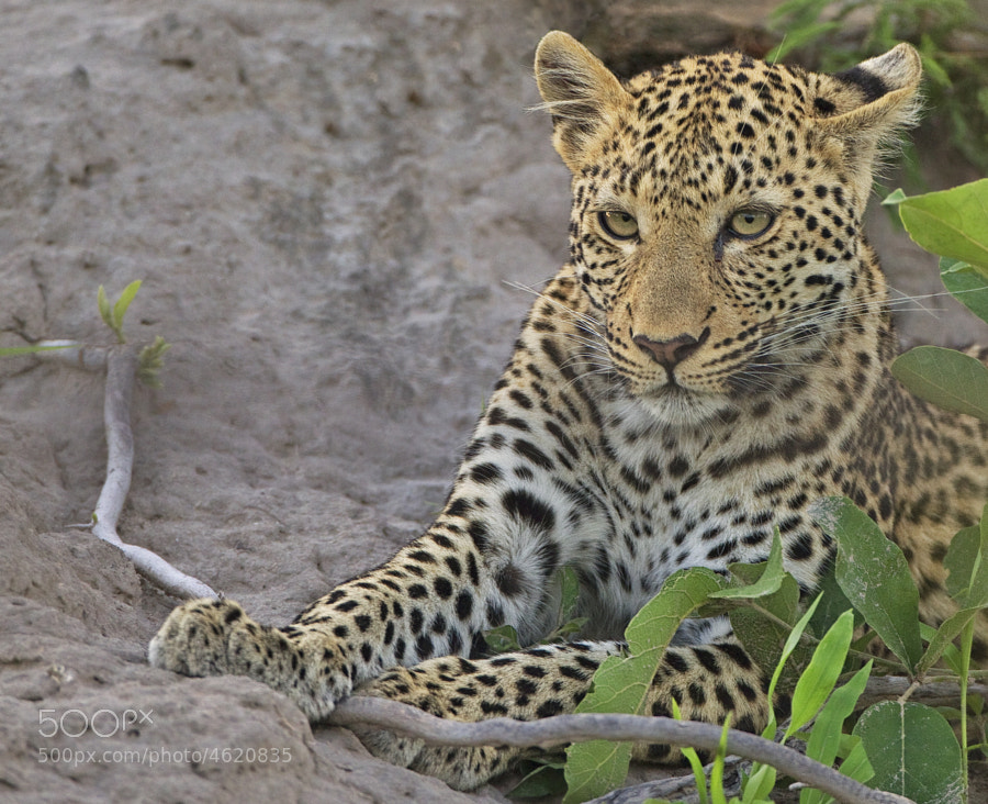 This is the young Leopardess, that a few minutes later killed the young Warthog I posted earlier. Looks as if butter would not melt in her mouth.