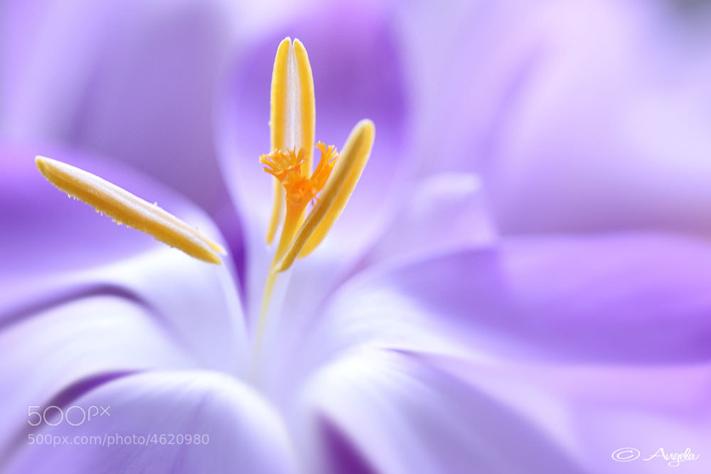 Photograph Crocus by Angela Raben on 500px