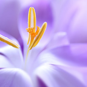 Crocus by Angela Raben (AngelaRaben)) on 500px.com