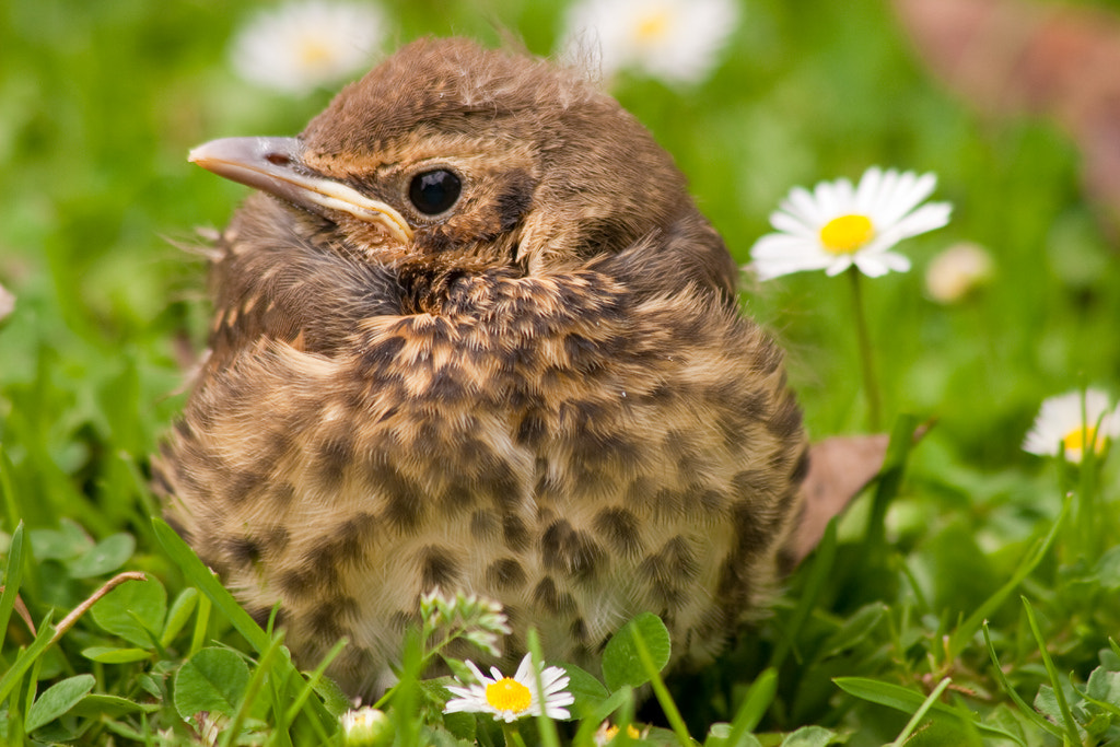 Photograph Song thrush fledgling by Paul Sorrell on 500px