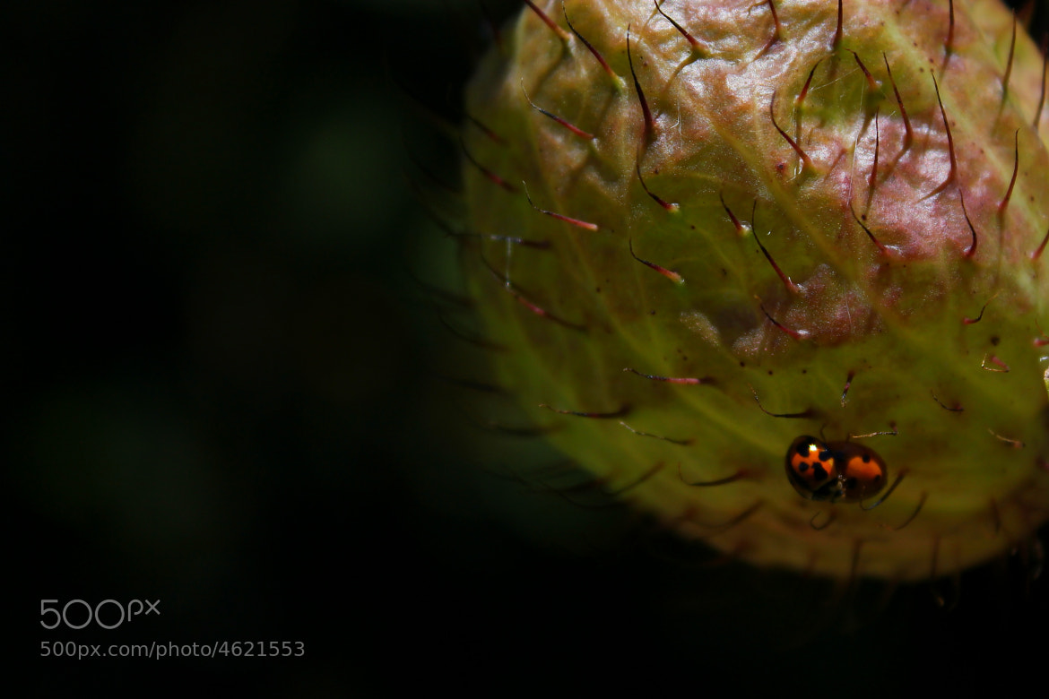 Photograph Ladybeetles by Lachlan Kelly on 500px