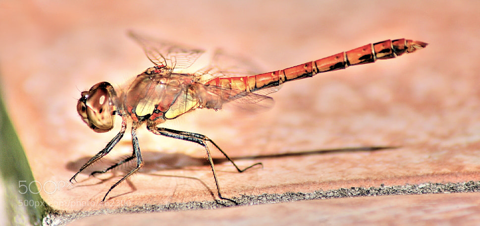 Photograph Red Dragonfly by NICOLAI BÖNIG on 500px