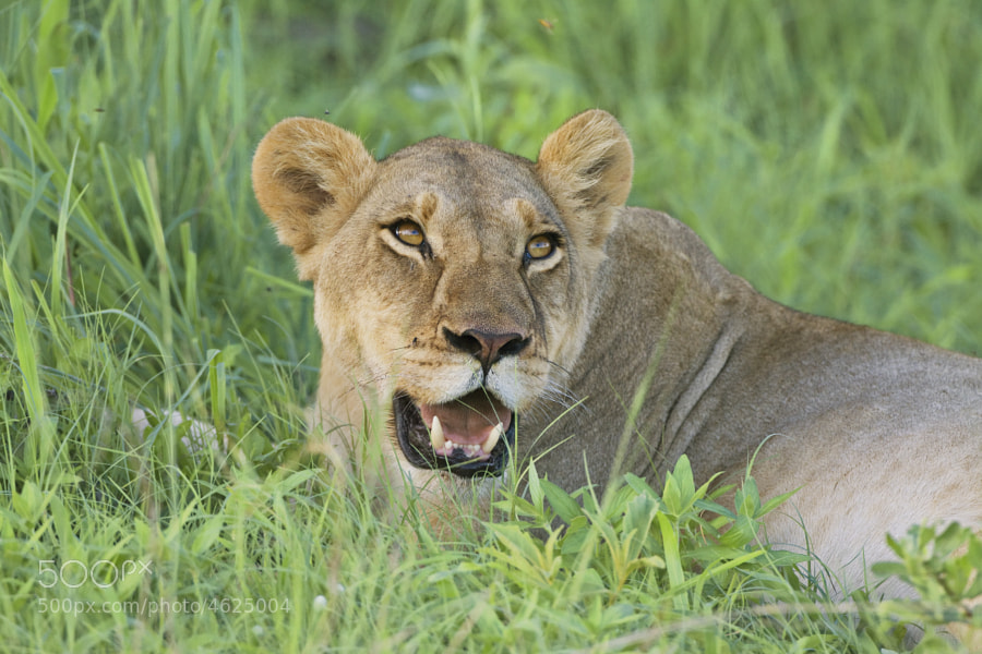 This young Lioness is trying to cool of after a grand feast of Zebra.
