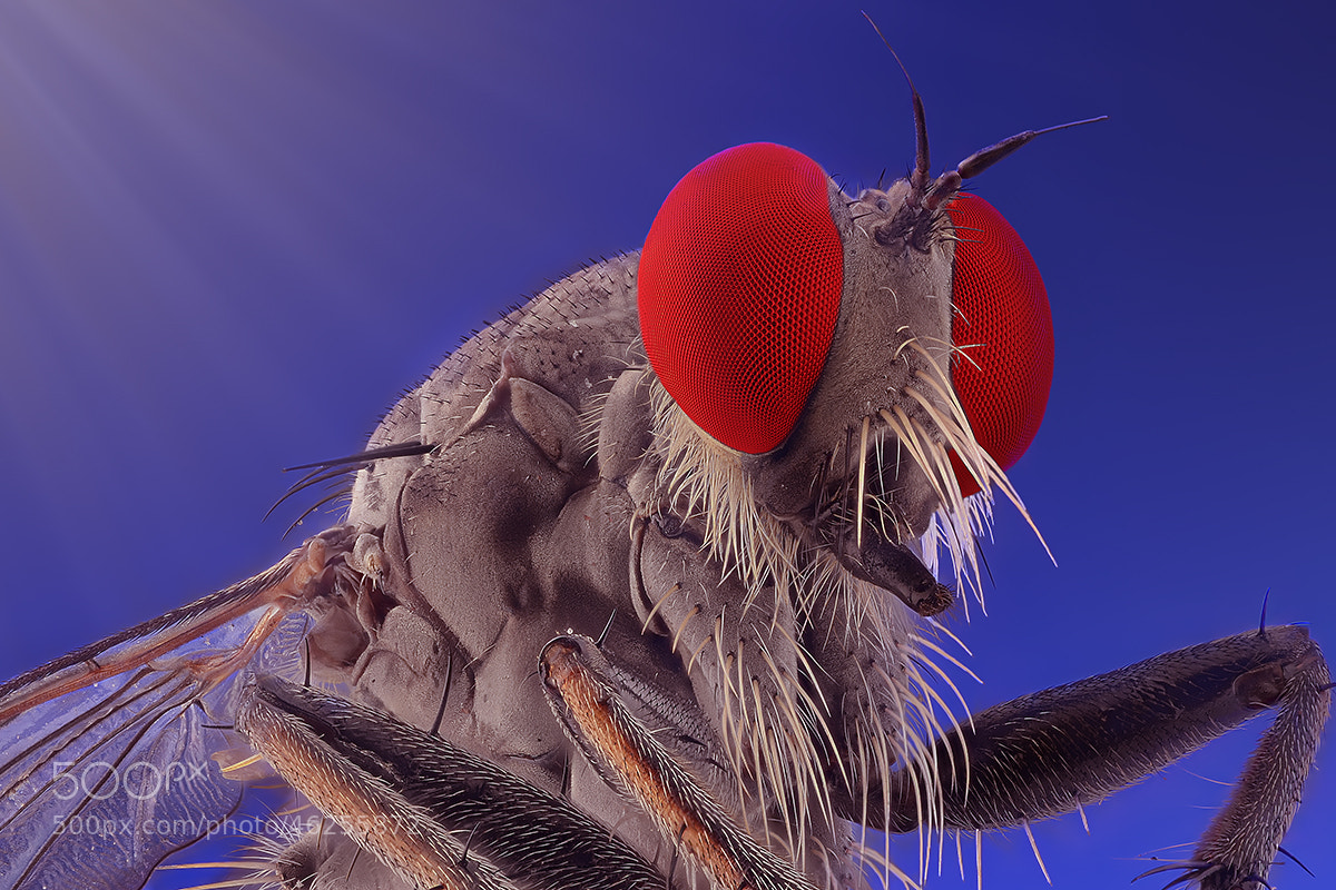 Photograph ROBBERFLY by Yudy Sauw on 500px