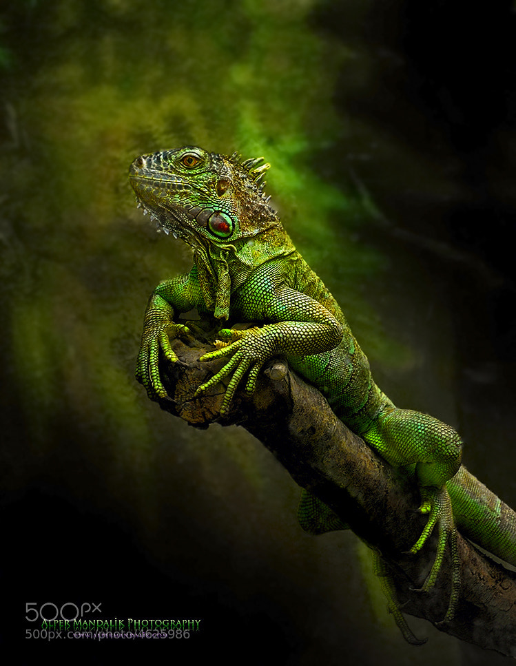 Photograph iguana by Alper Mandalik on 500px