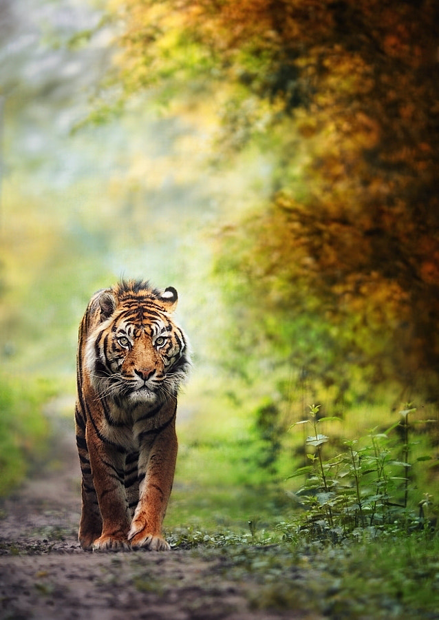 Tiger photography -tiger is back ... by eric c. on 500px.com