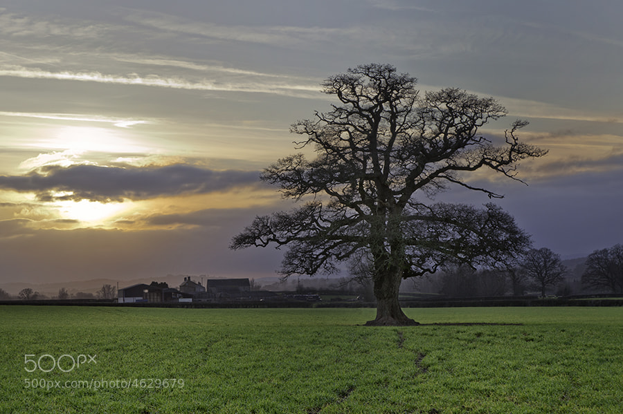 OAK TREE IN FIELD LLANDENNY COURT IN THE VALE OF USK