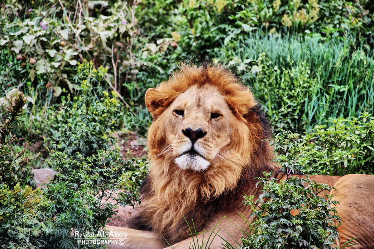 Photograph Lion by Ra'afat Al-Amery on 500px