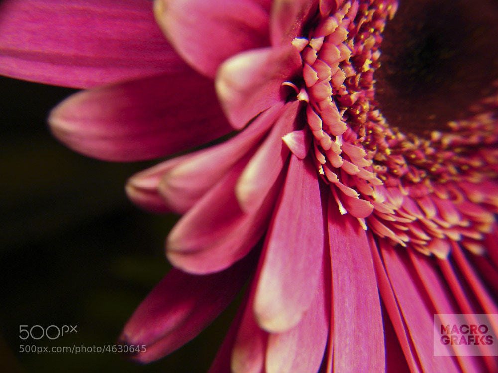 Photograph Gerbera by Macrografiks Stock Photos on 500px