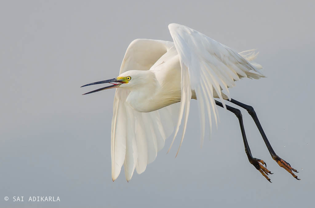 migratory bird Intermediate Egret at Chilika Lake