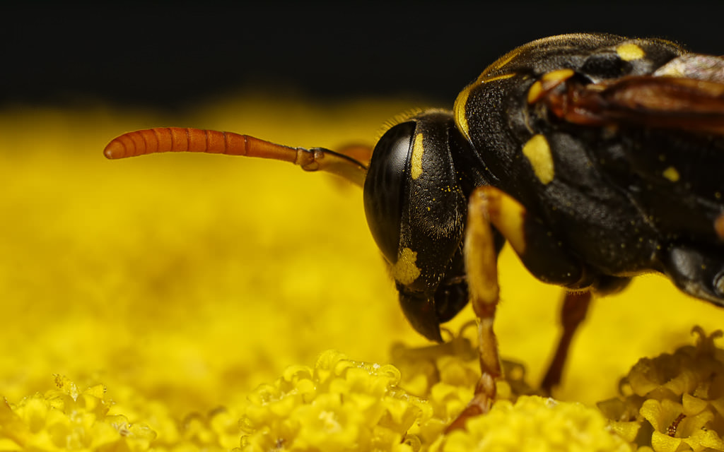 Photograph Wasp (very closeup) by Michel L'HUILLIER on 500px
