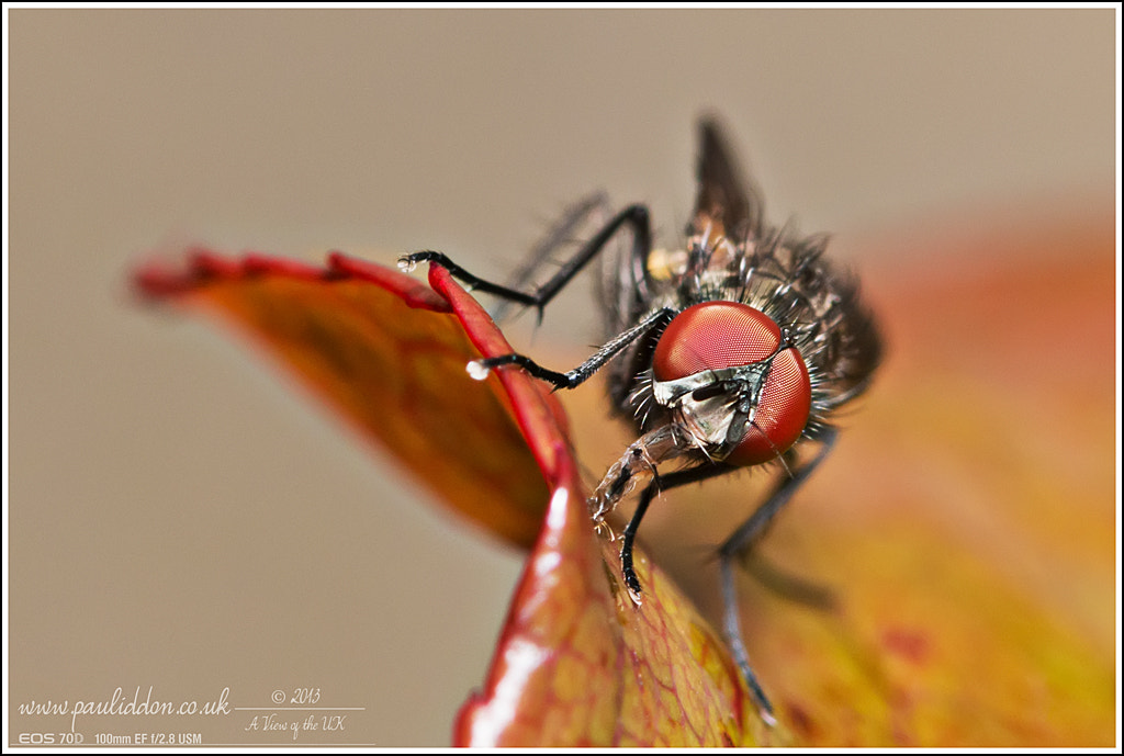 Photograph Fly on rose leaf. by Paul Iddon on 500px
