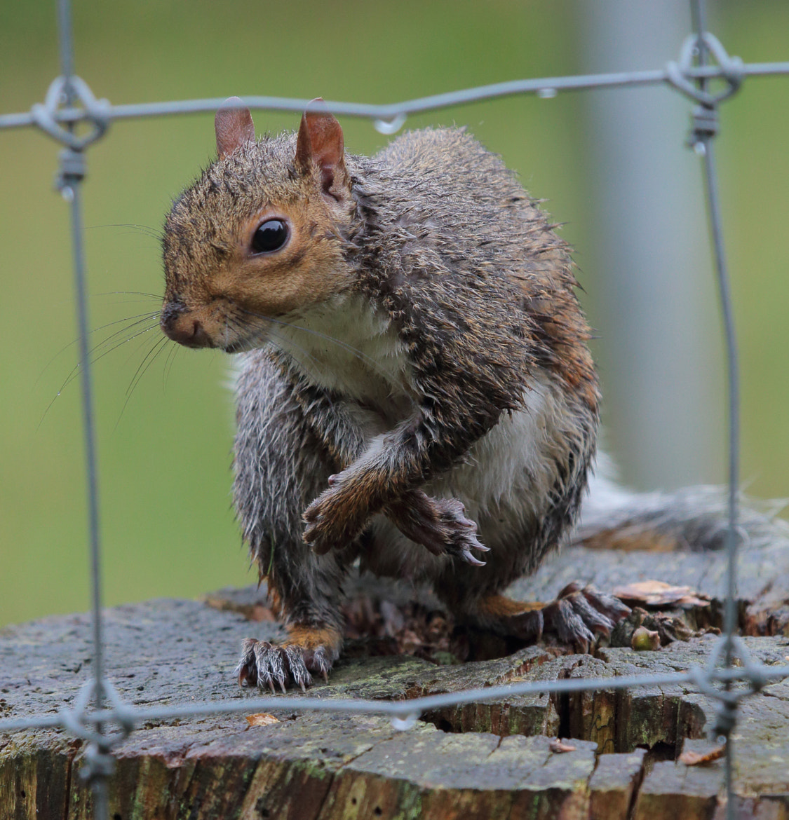Photograph Wet Grey Squirrel by Justin Sneddon on 500px