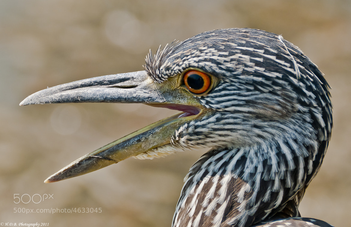 Photograph Imature Yellow Crown Night Heron by Harold Begun on 500px