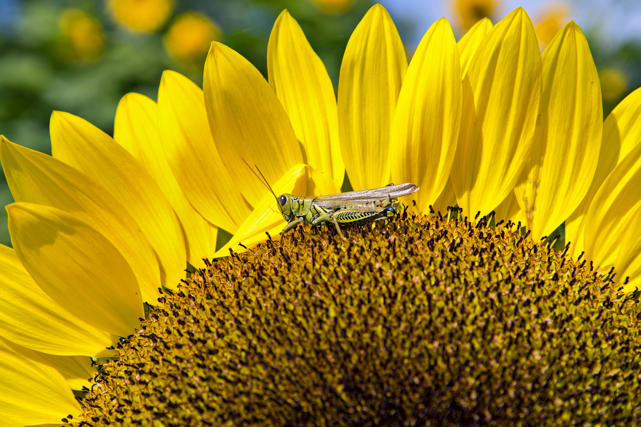 Photograph Grasshopper on Sunflower by Heather Conley on 500px
