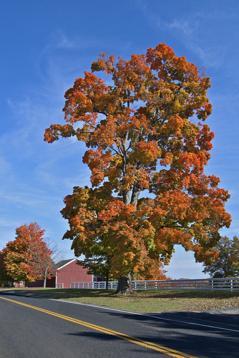 Photograph Maple on Fire by Heather Conley on 500px