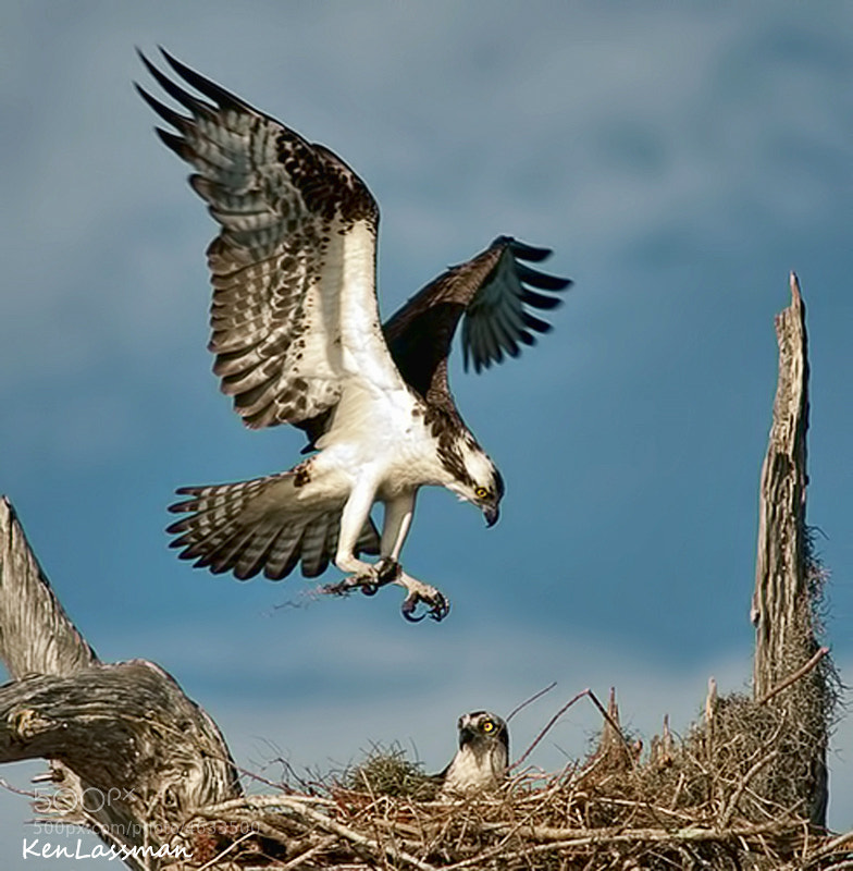 Male Osprey bringing in air moss for the nest.  Taken at Blue Cypress Lake last year and many of us are anxiously awaiting this season which will be starting soon