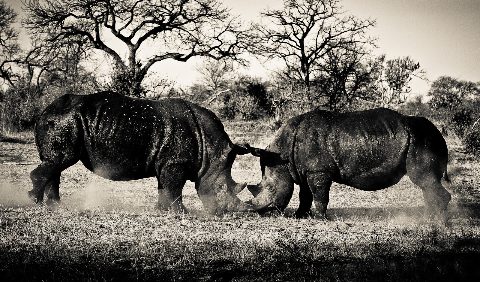 Photograph Rhino fight by Gorazd Golob on 500px