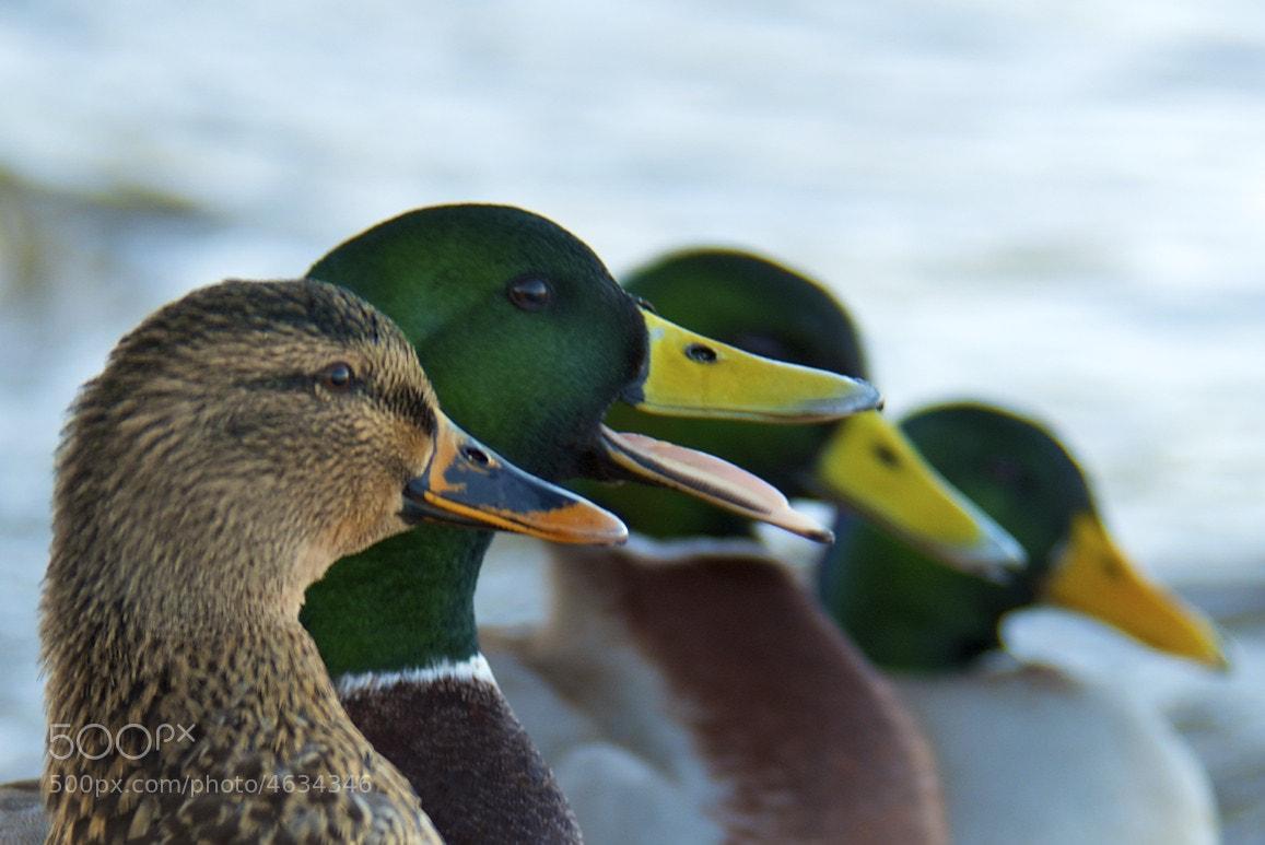Photograph Quack Quack! by Craig MacLeod on 500px