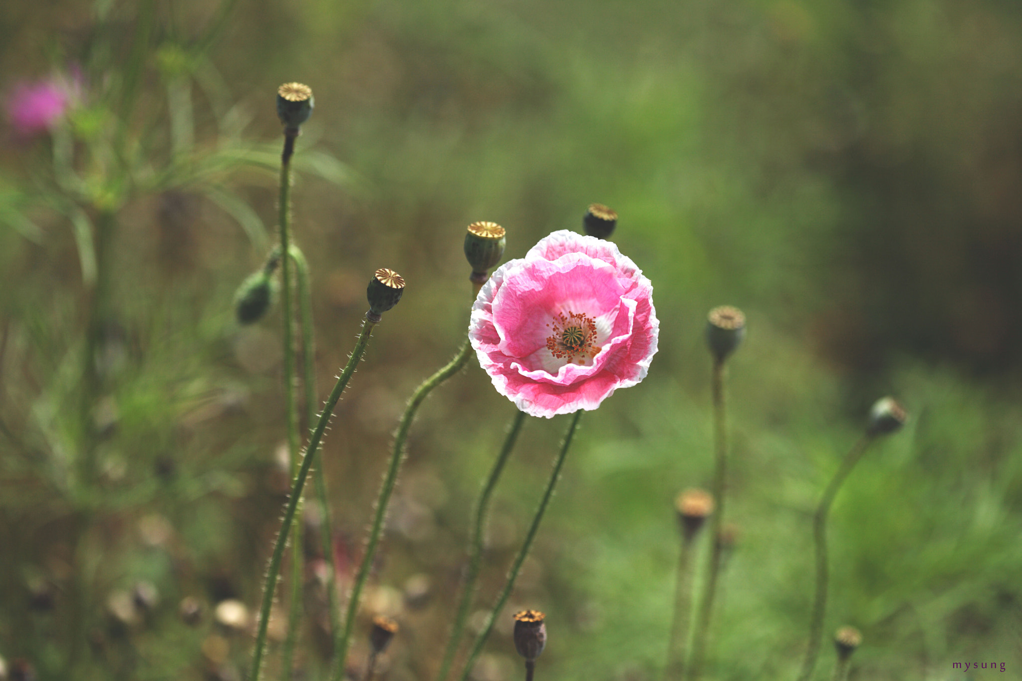 Photograph Poppy by mi yong sung on 500px