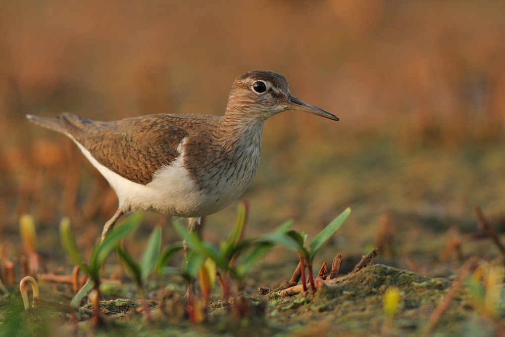 Photograph Common Sandpiper by rei segali on 500px