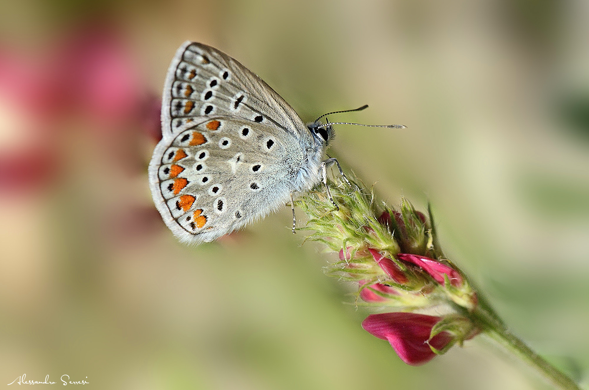 Photograph Butterfly by Alessandro Serresi on 500px