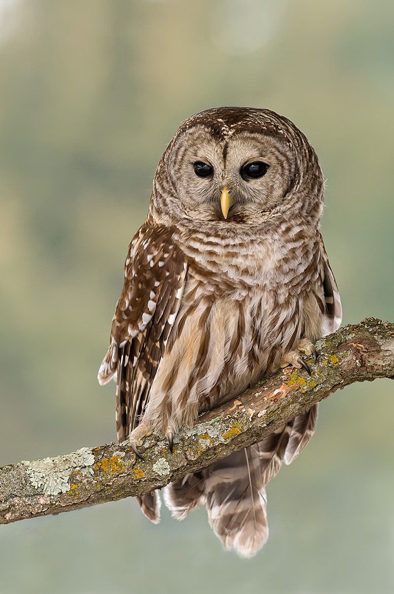 Photograph Barred owl by Mike  Lentz on 500px