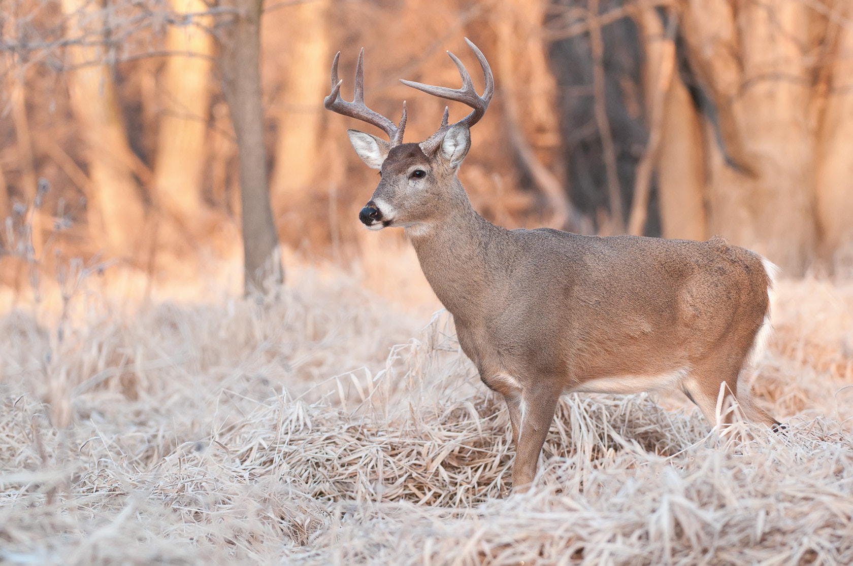 Photograph Buck in golden light by Mike  Lentz on 500px
