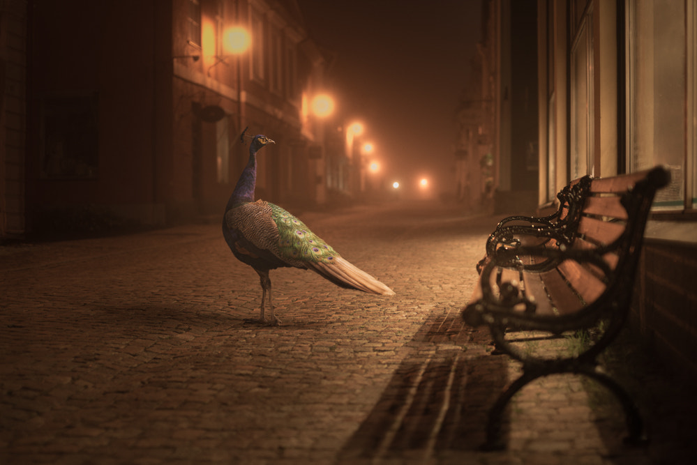 Photograph Peacock by Mikko Lagerstedt on 500px