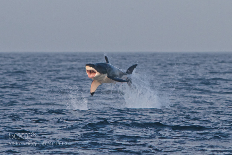 Photograph Flying Great White by tbza . on 500px