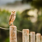 Постер, плакат: Burrowing Owl