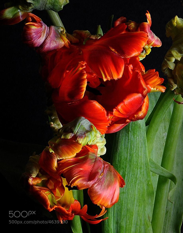 Photograph Tulips by J. Mark Edmonds on 500px