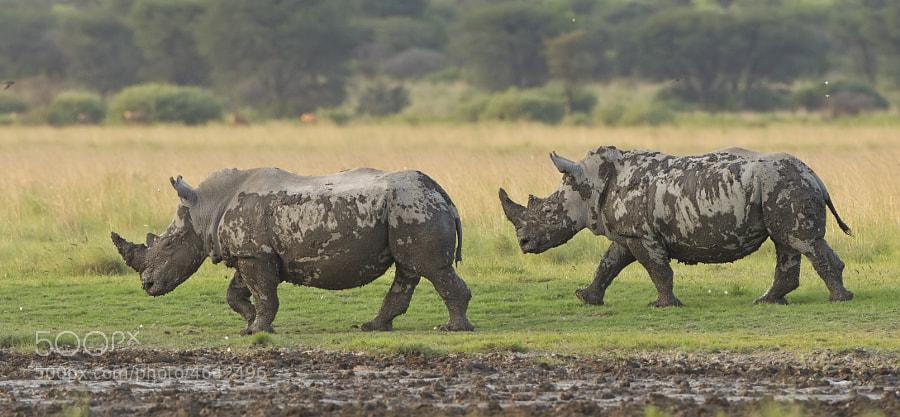These two White Rhino make their way from the mudbath, before scaring the Gnus. Taken in Khama Rhino Sanctuart, Botswana